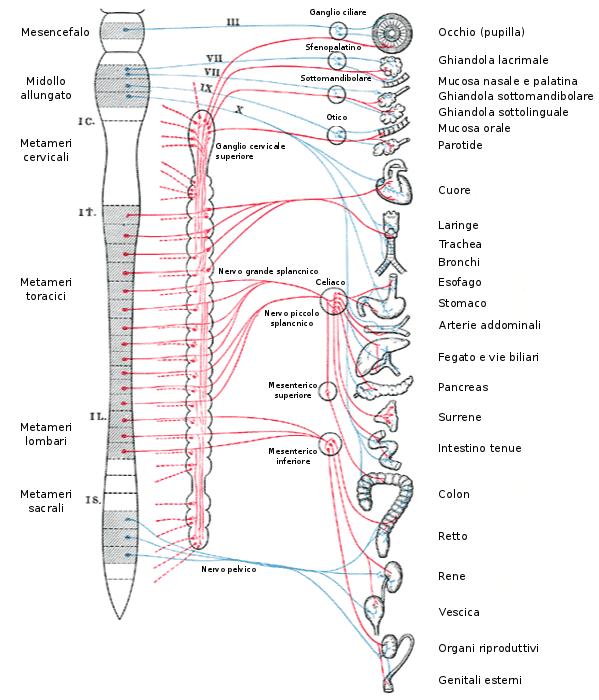 innervazione della prostata