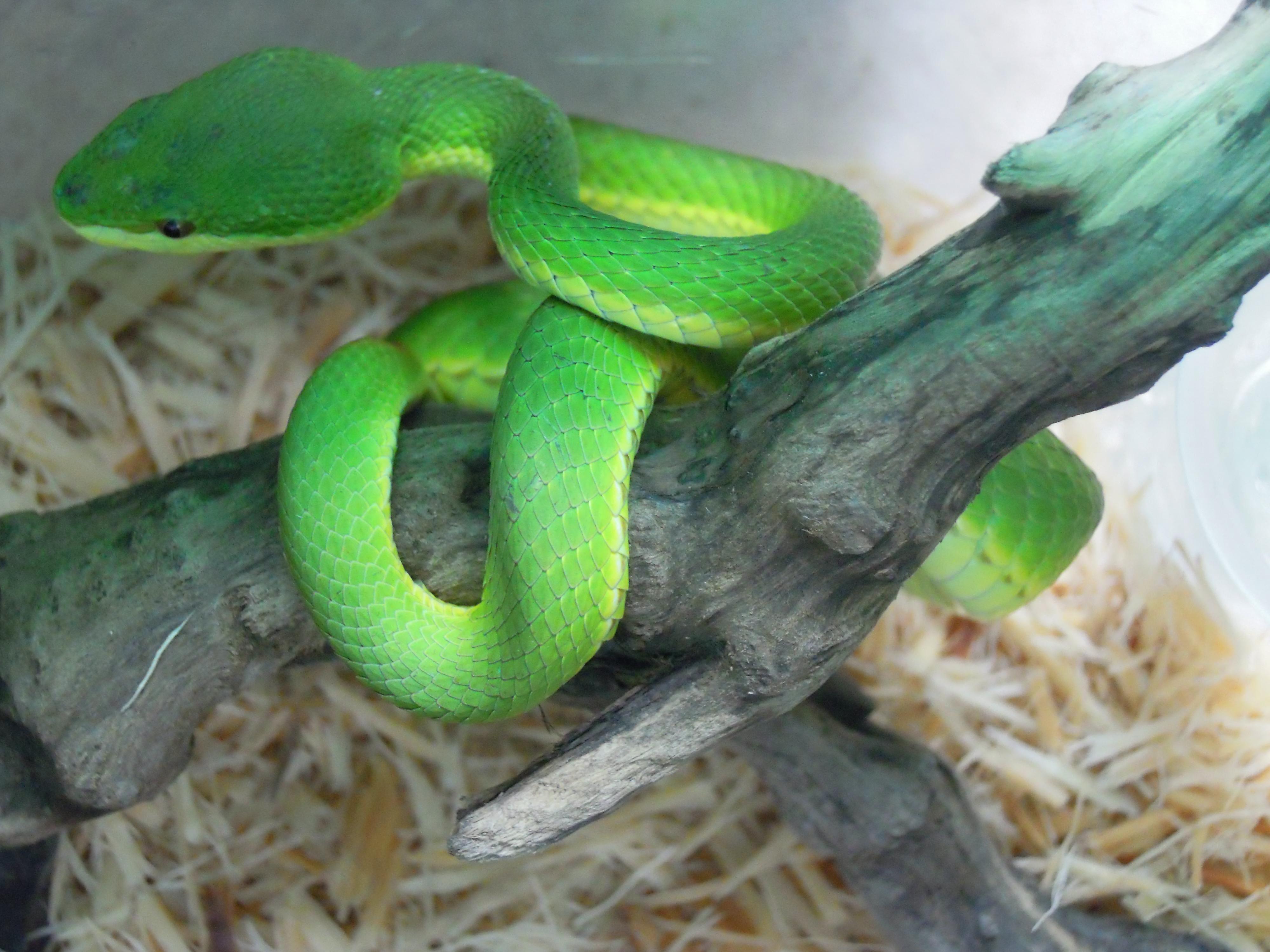 Green Pit Viper Wikipedia