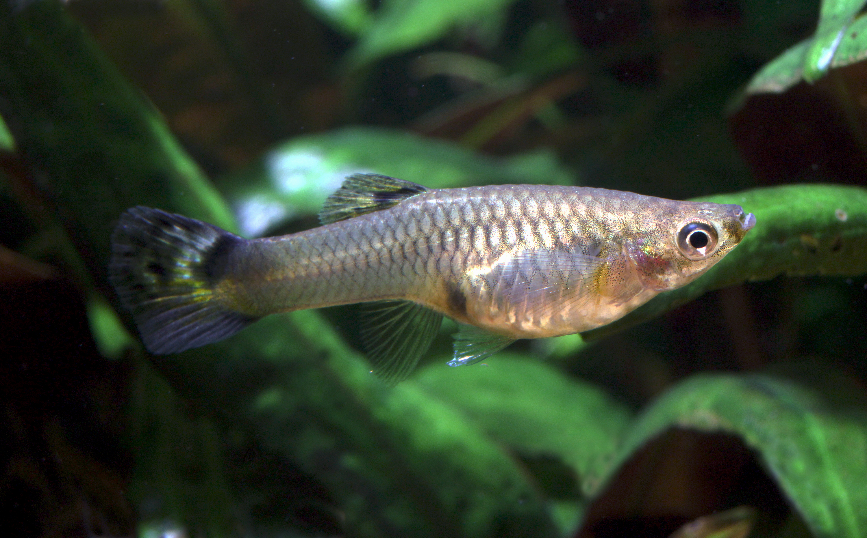 What to do when your guppy female is expecting fry