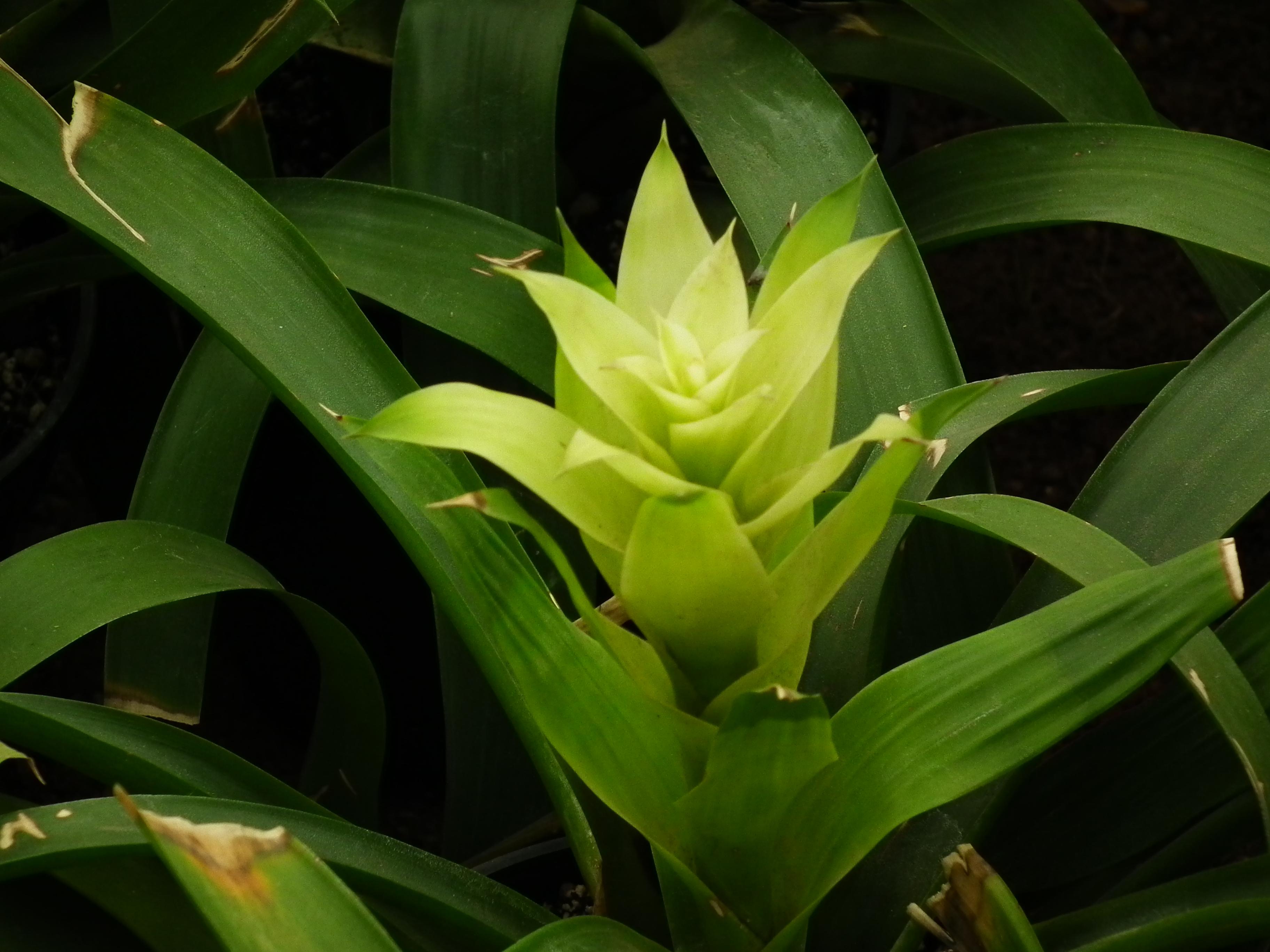 Комнатные цветы гузмания: уход в домашних условиях с фото 27