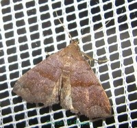 <i>Polypogon</i> (moth) Genus of moths