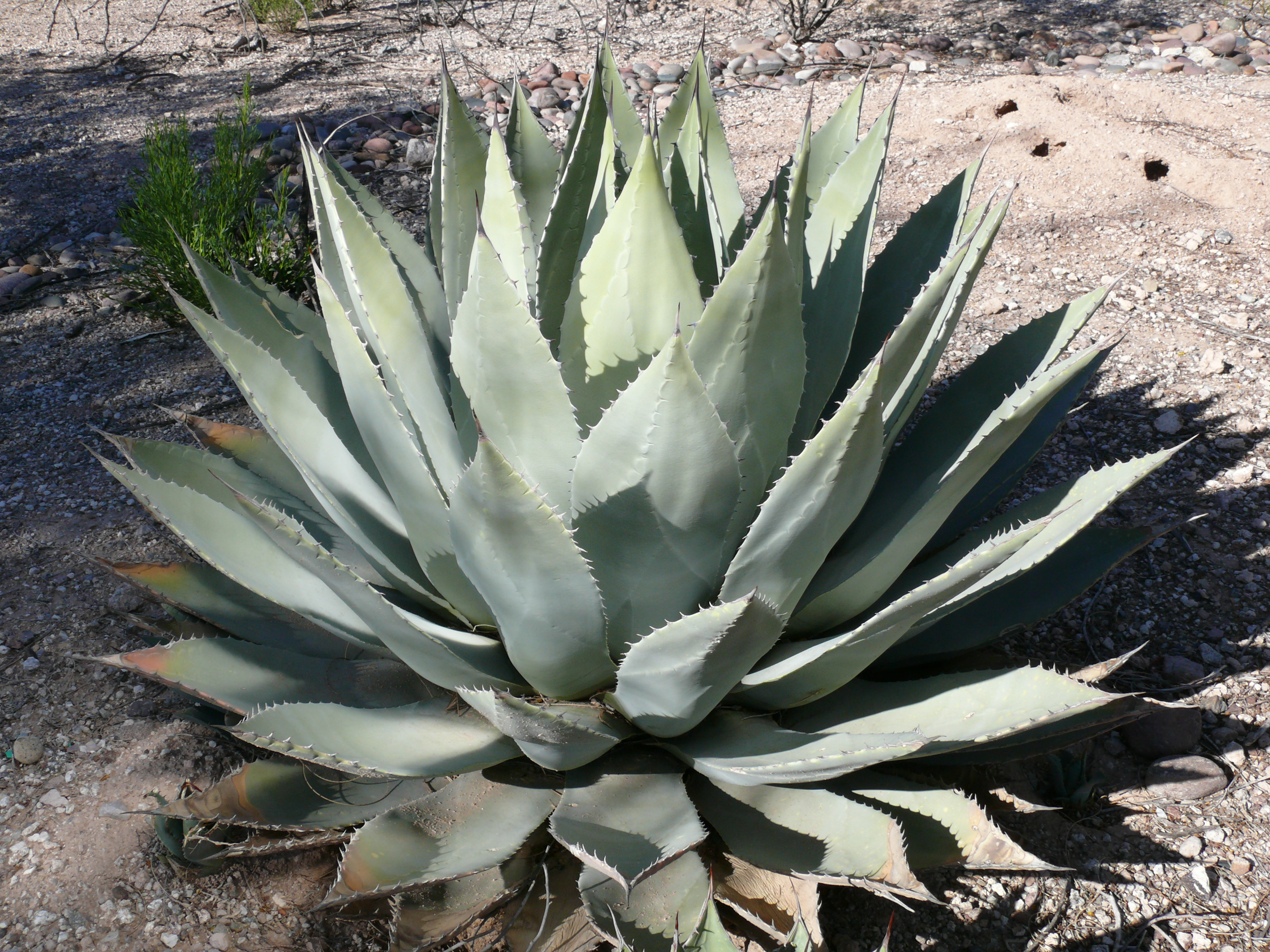 https://upload.wikimedia.org/wikipedia/commons/5/5e/Huachuca_agave.JPG