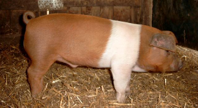 piglet weight