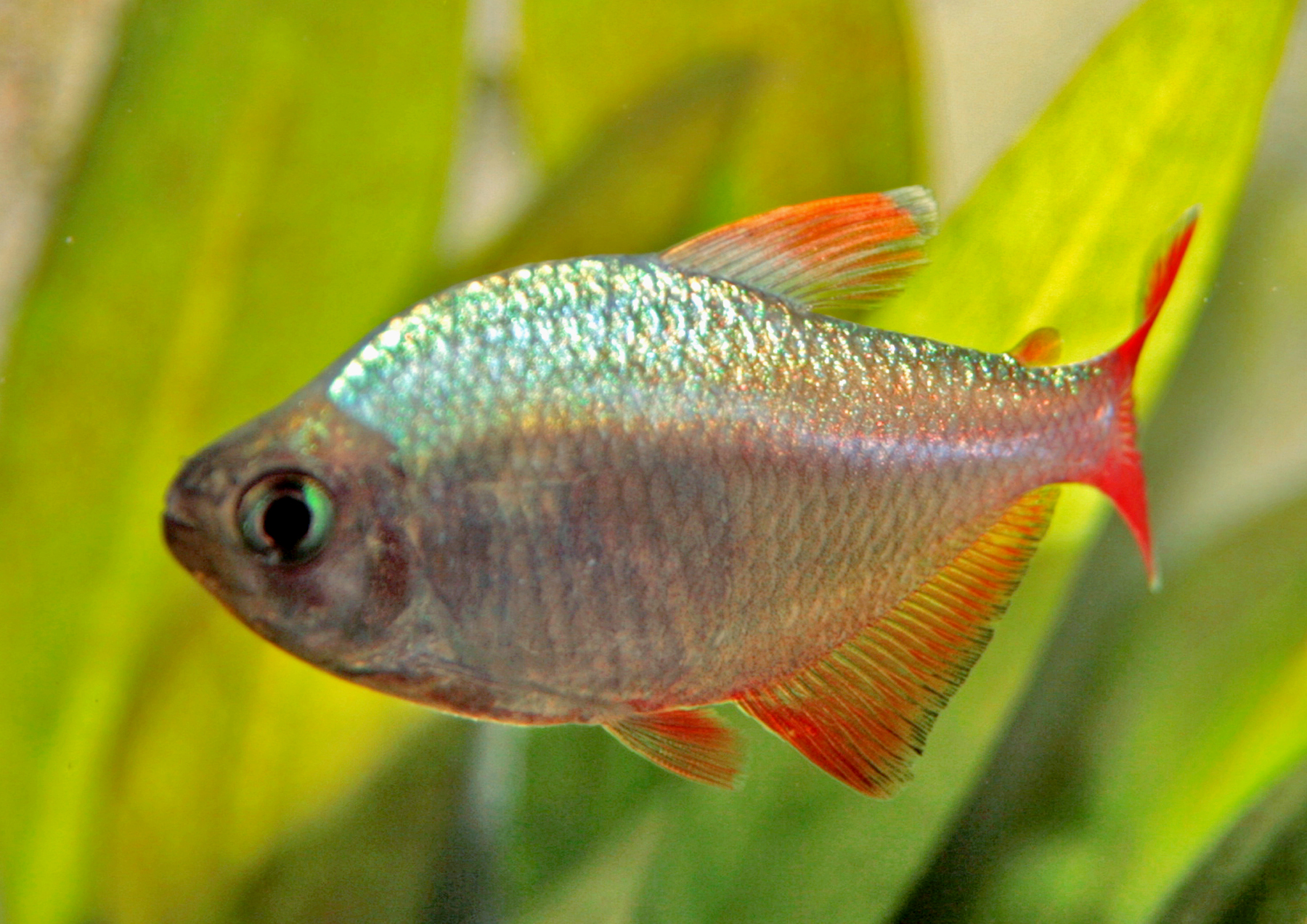 Tetra Fish Species Hyphessobrycon columbianus