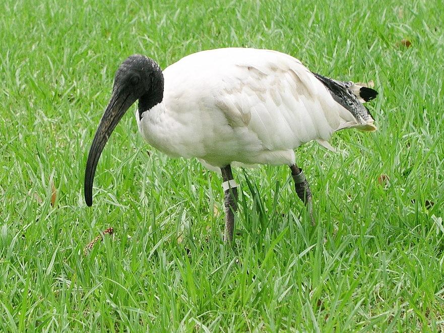 australische witte ibis - wikipedia