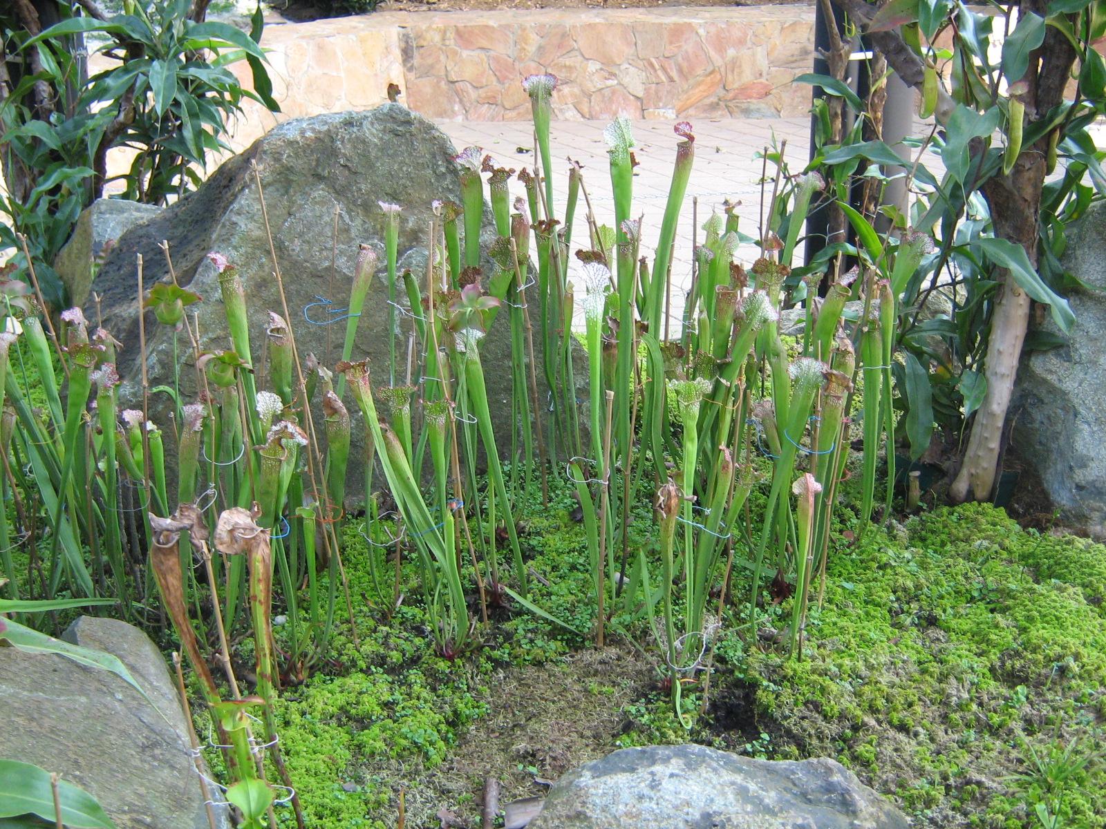 Fotos de natureza plantas carn voras for Hierba jardin