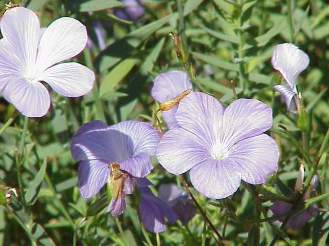 Linum narbonense wikipedia la enciclopedia libre for Plantas ornamentales wikipedia
