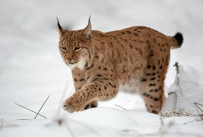 Fichier:Lynx lynx 1 (Martin Mecnarowski).jpg
