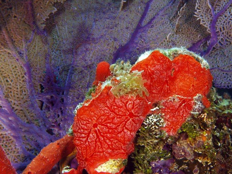 Monanchora arbuscula (Red encrusting sponge)