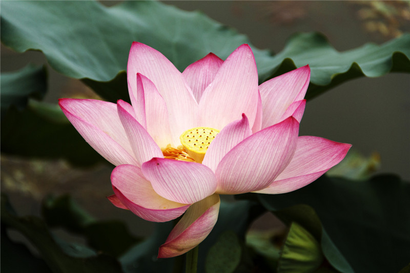 https://upload.wikimedia.org/wikipedia/commons/5/5e/Nelumbo-nucifera-3-_1200.jpg