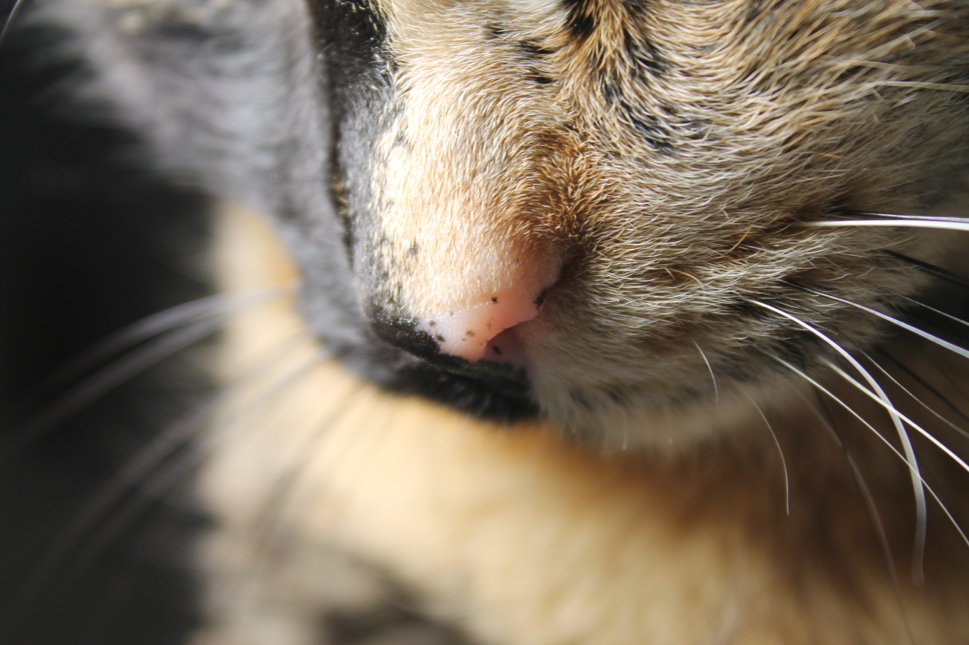 Kissan Sukupuolielimet