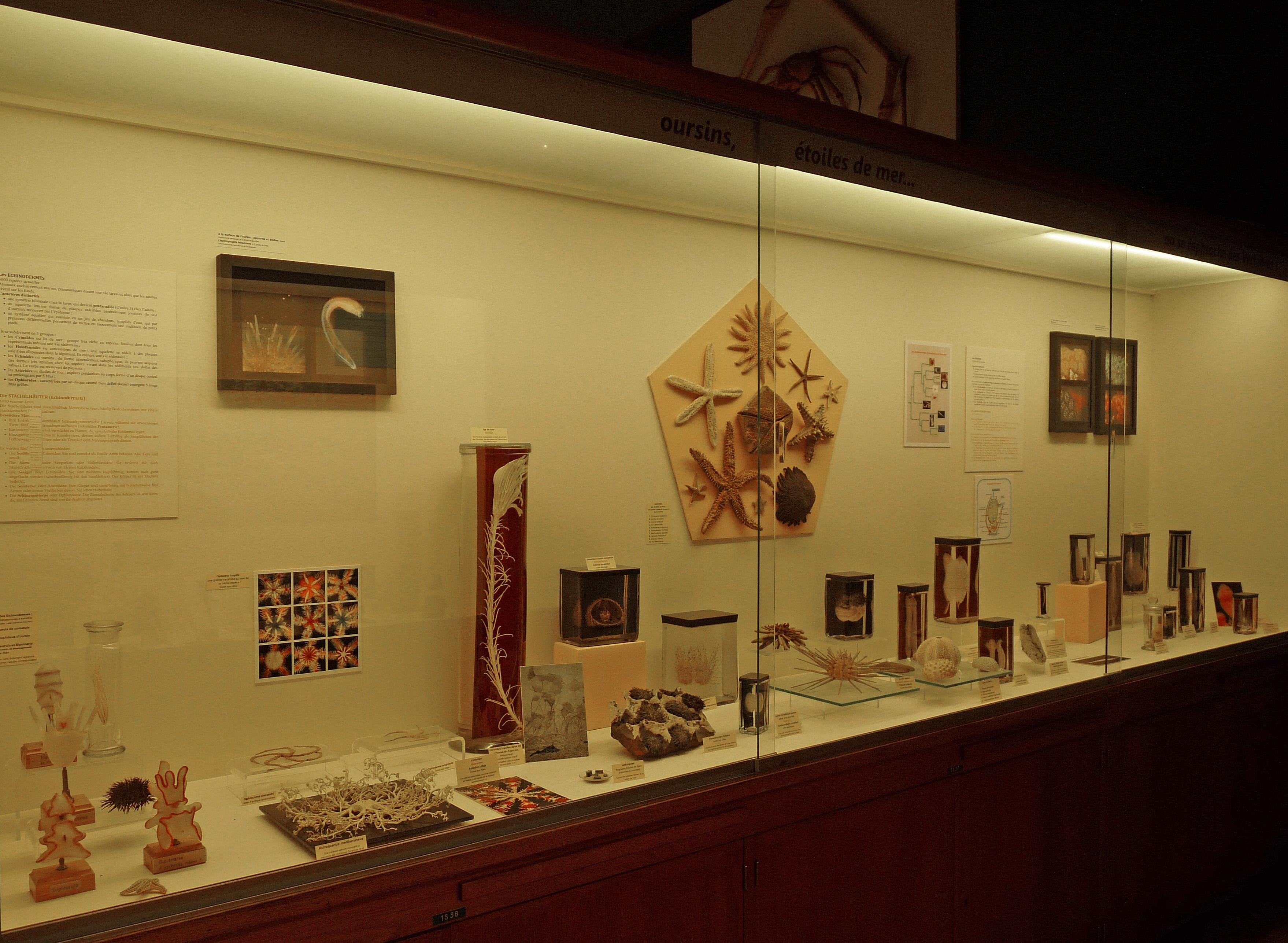 File:Oursins-Etoiles de mer-Musée zoologique de Strasbourg.jpg ...