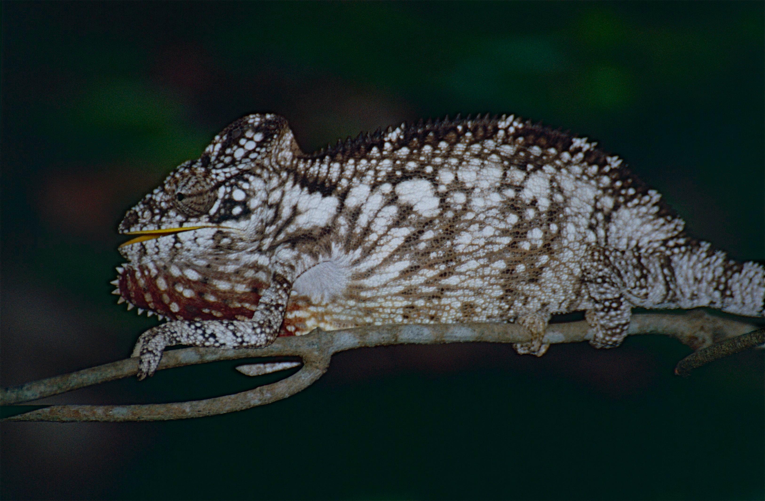 File:Oustalet's Chameleon (Furcifer oustaleti) juvenile ...