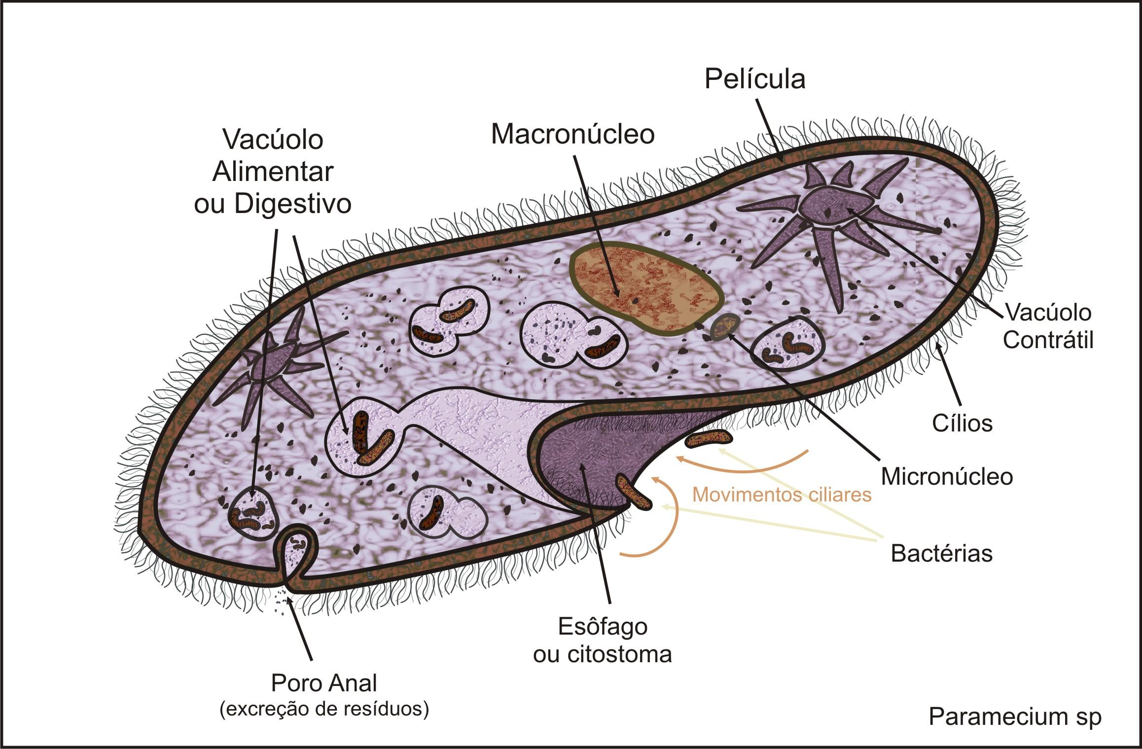 paramecium cell - photo #11