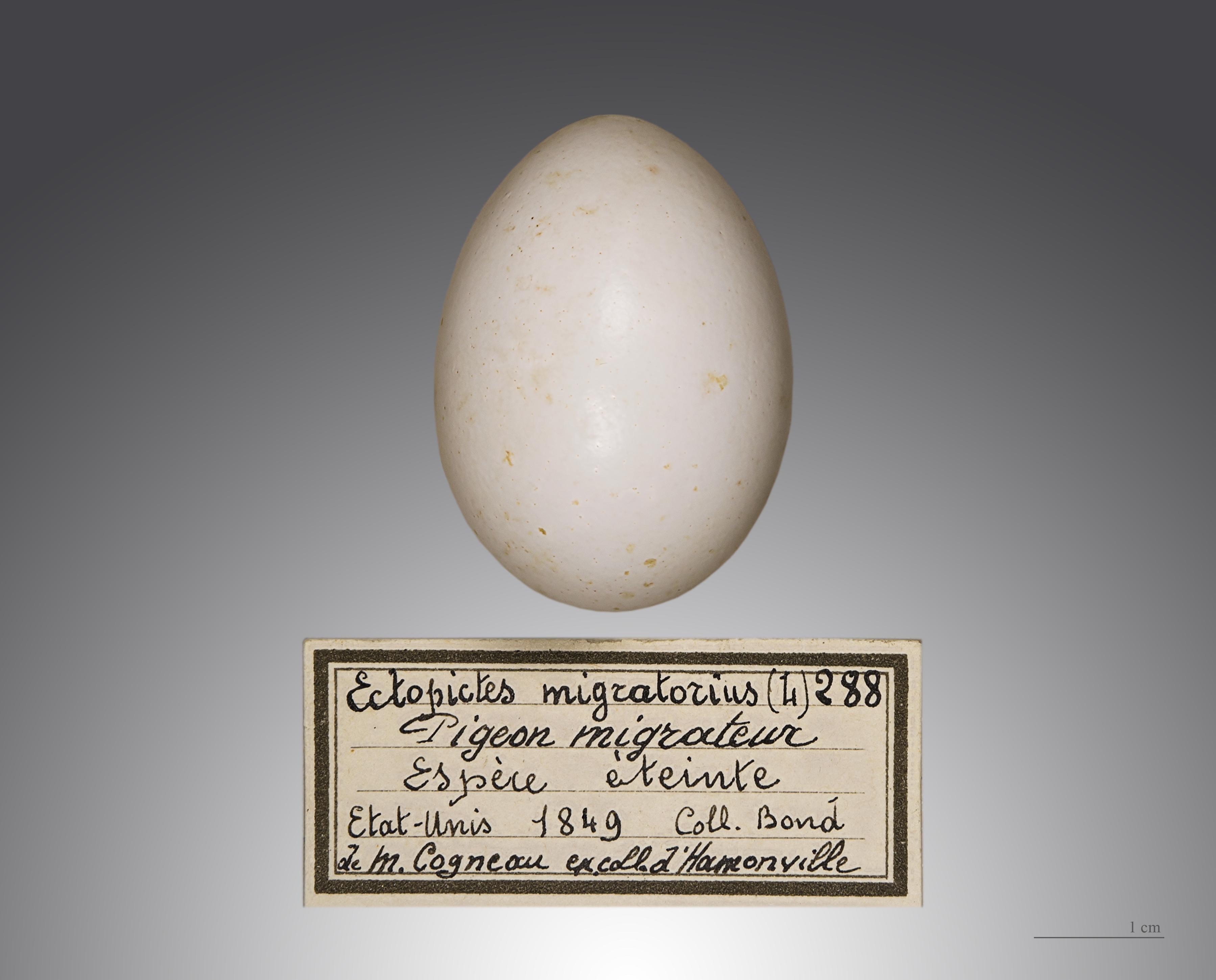 Passenger Pigeon Egg