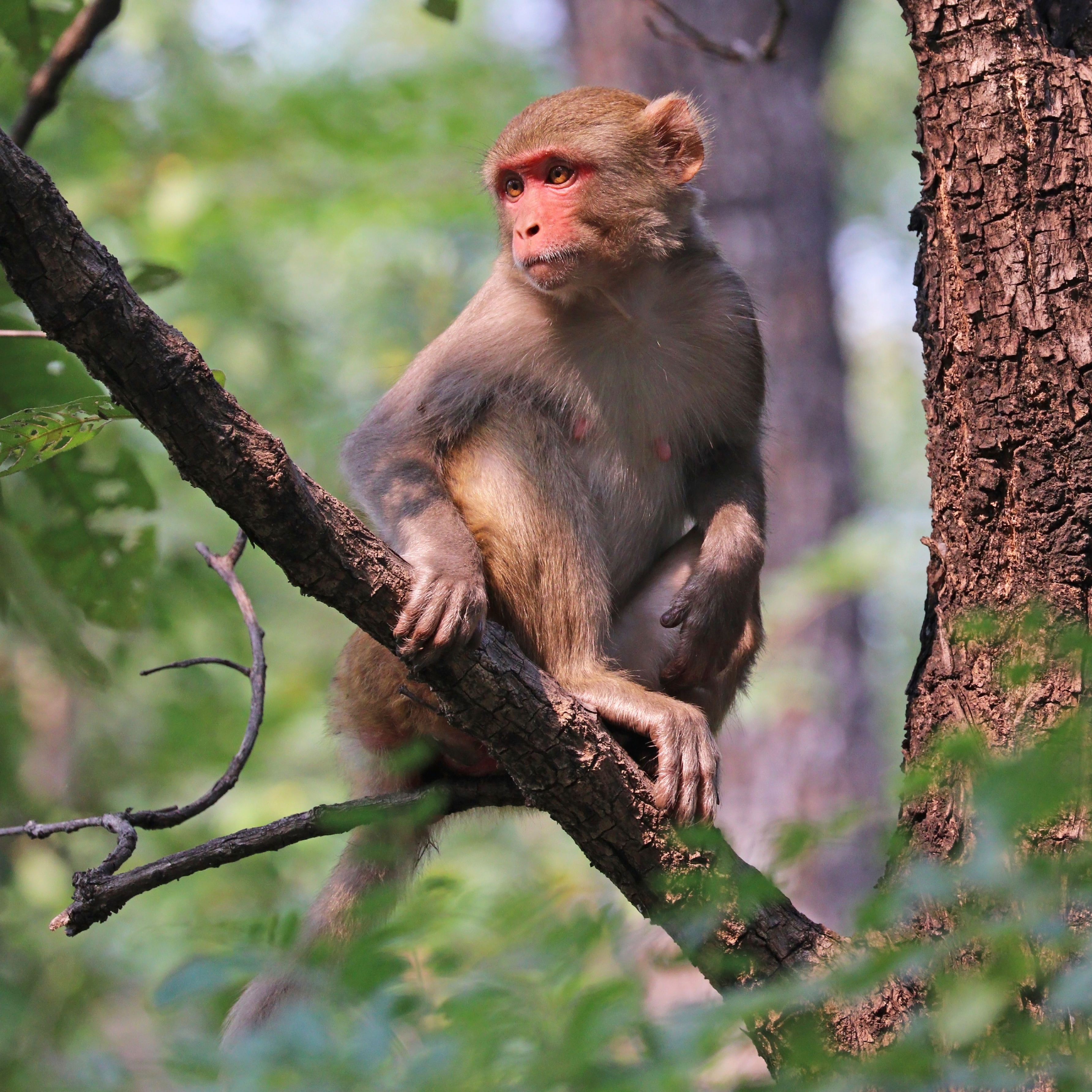 Rhesus macaque - Wikipedia