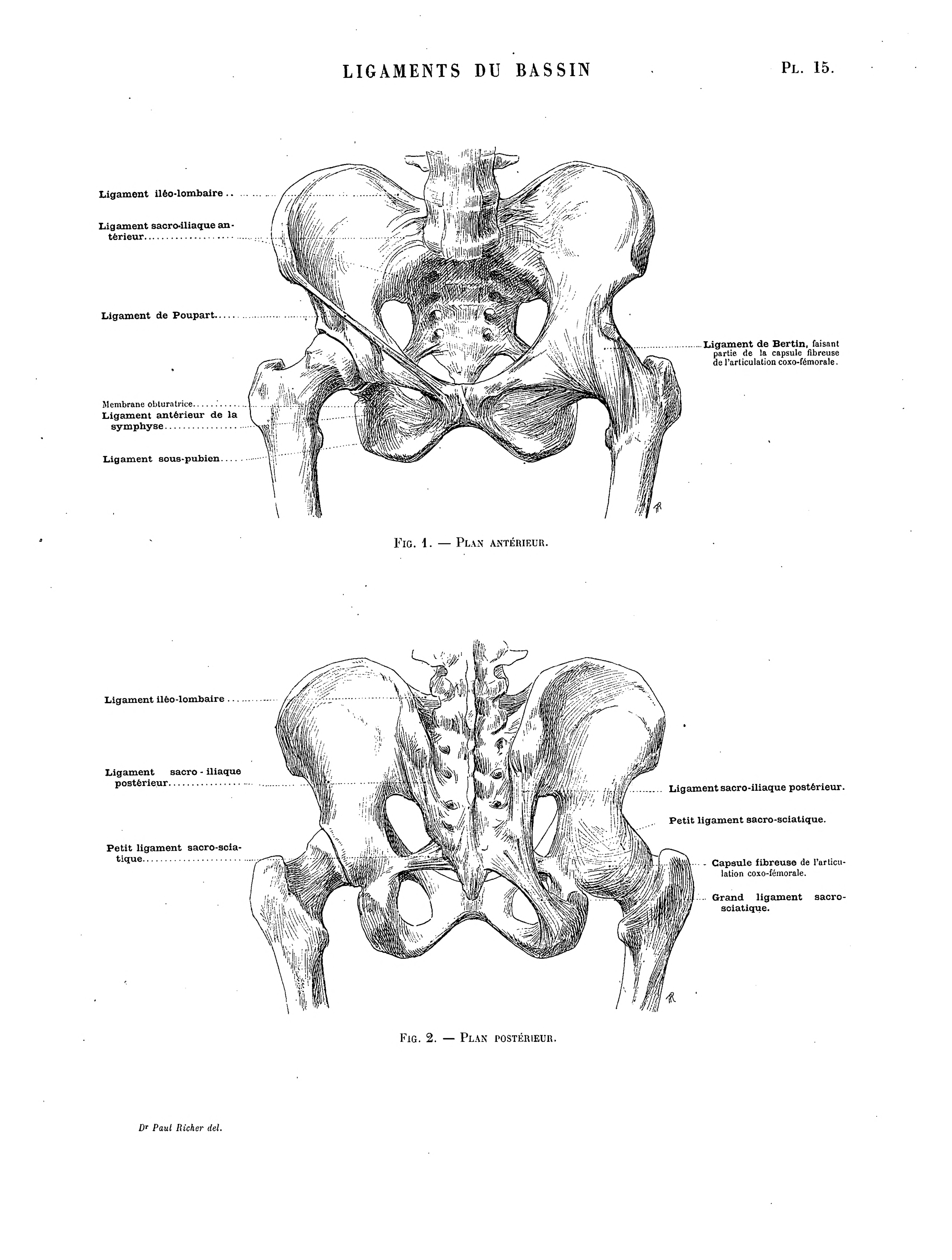 Niedlich Ligamentum Anatomie Galerie - Menschliche Anatomie Bilder ...