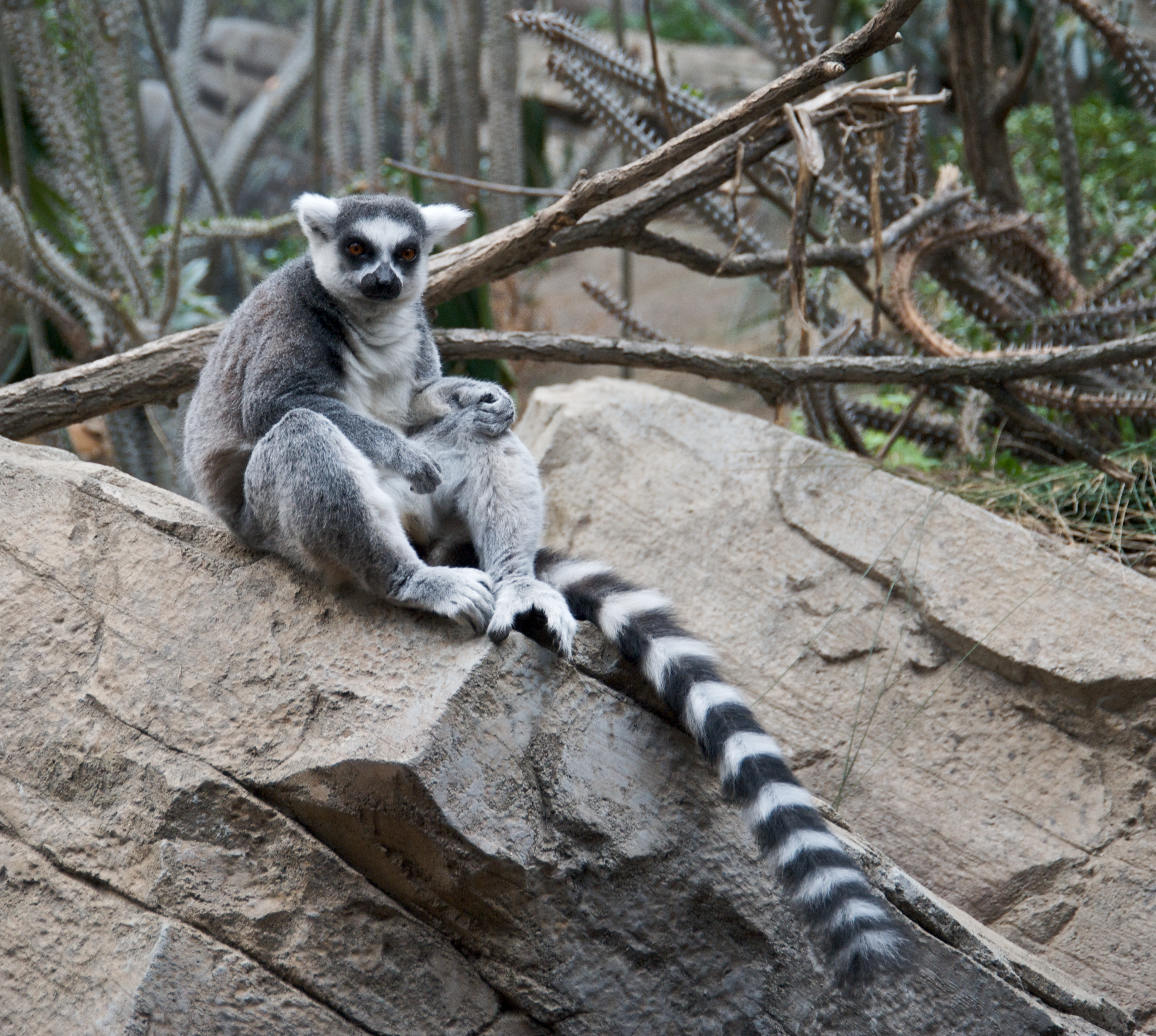 Ring Tailed Lemur Behaviour