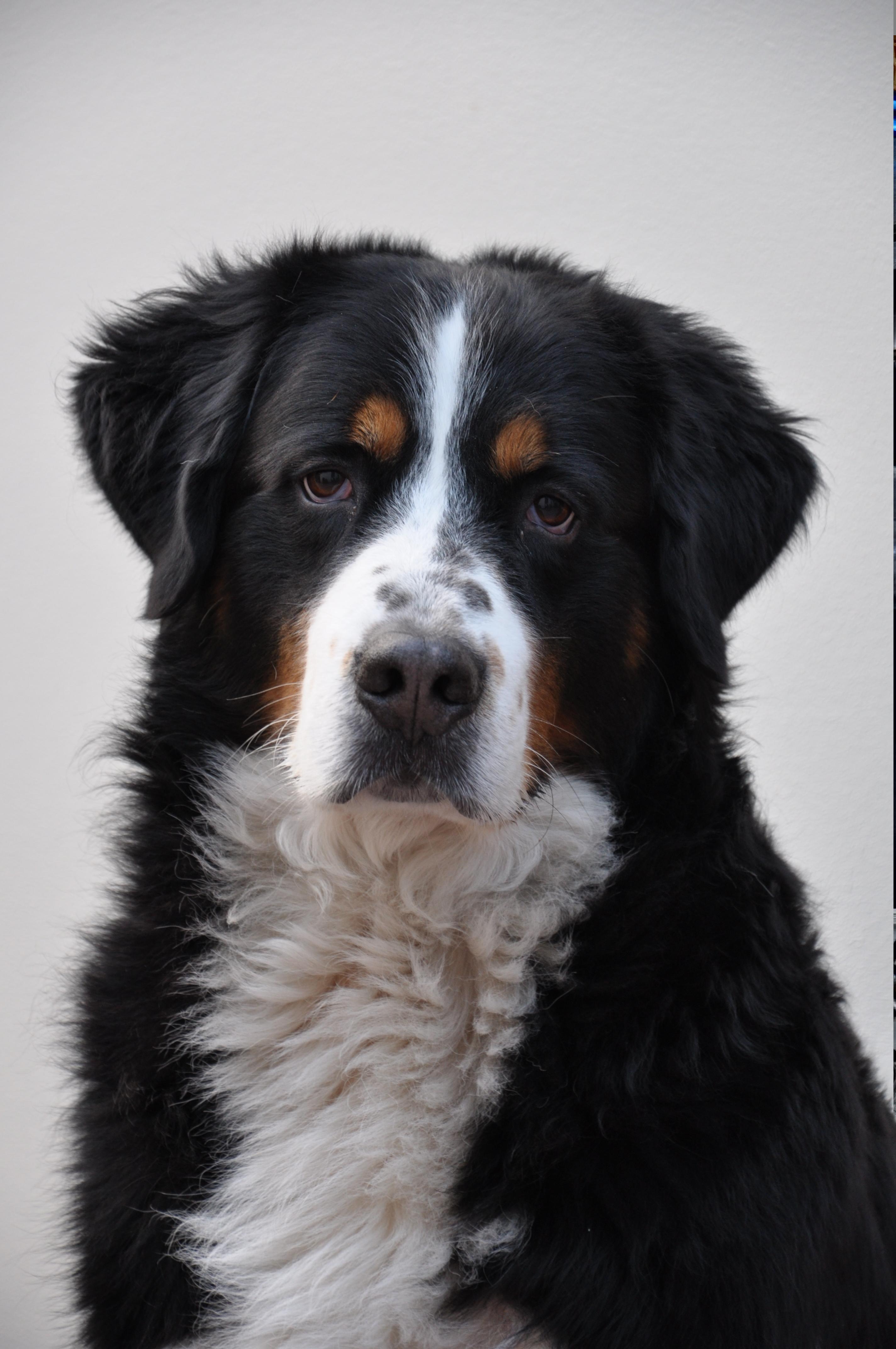 Bernese Mountain Dog Puppy Wi