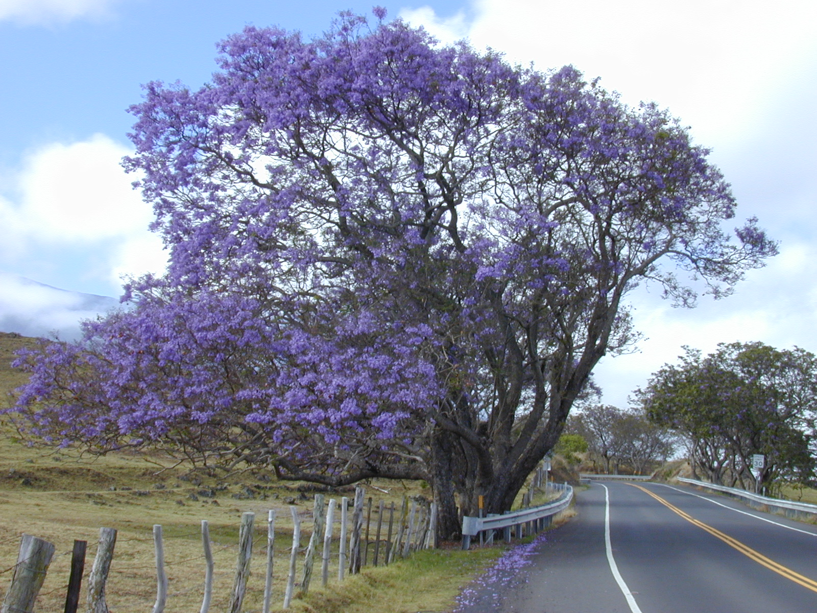 Archivo starr 010423 0003 jacaranda for Significado de ornamental wikipedia
