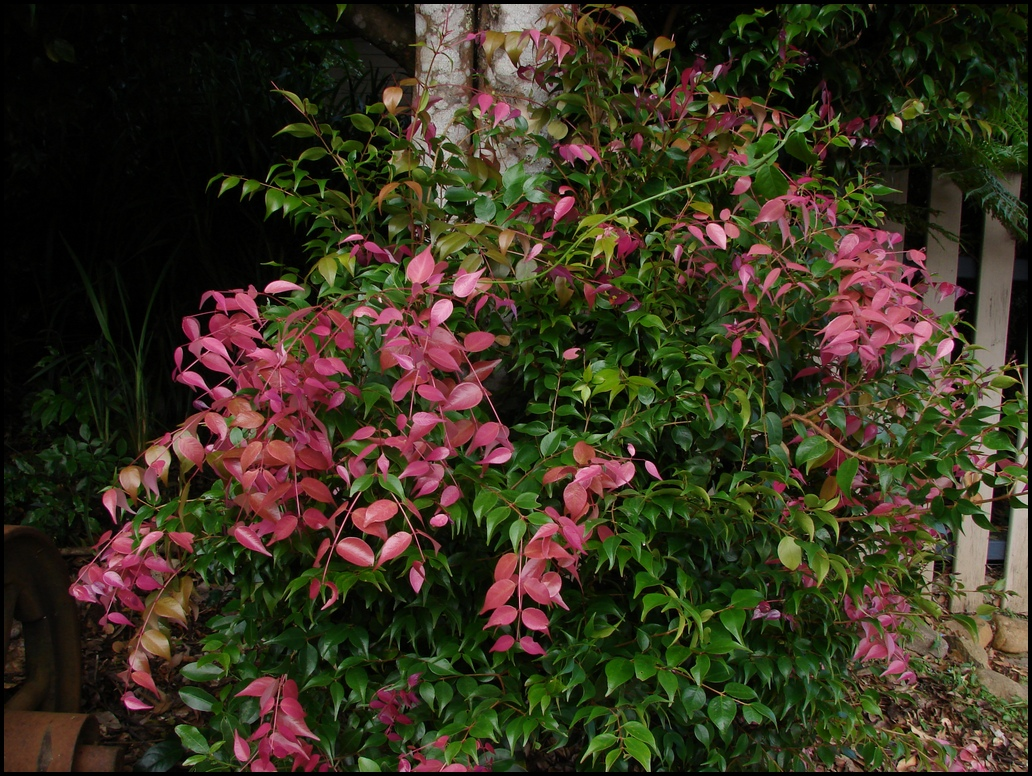 File syzygium luehmannii wikimedia commons for Pink small tree