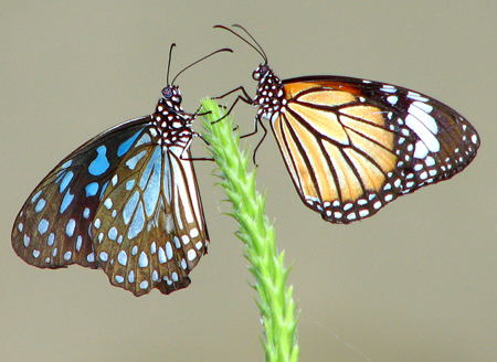 Will you be my Valentine? - Blue Tiger (Tirumala limniace) and Striped Tiger (Danaus genutia)