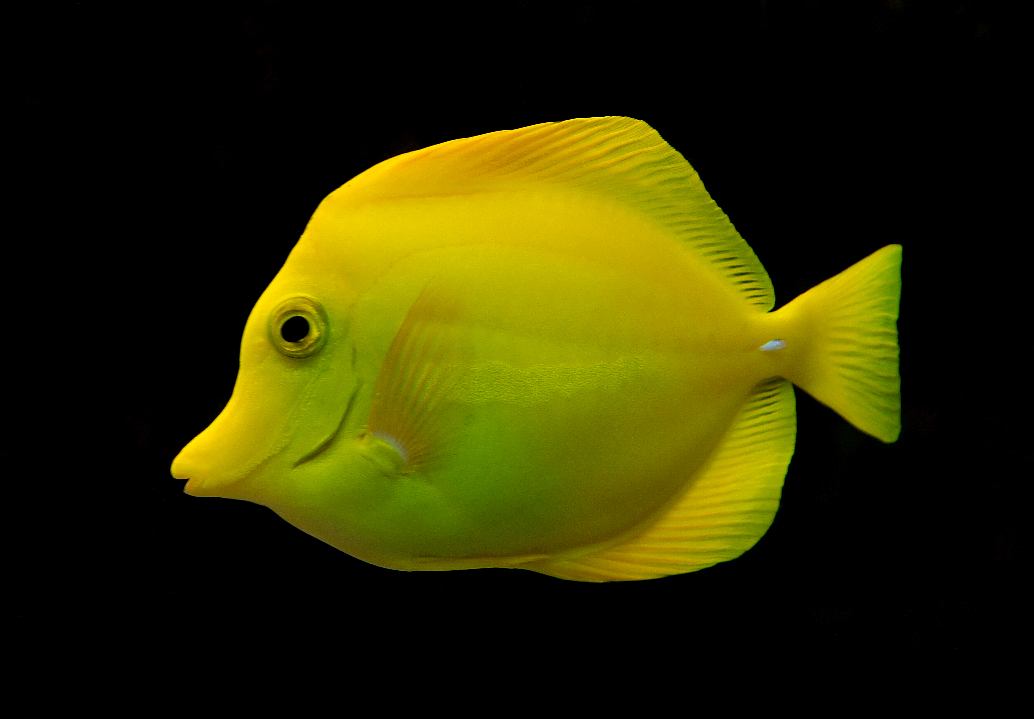File zebrasoma flavescens luc wikipedia for Yellow tang fish