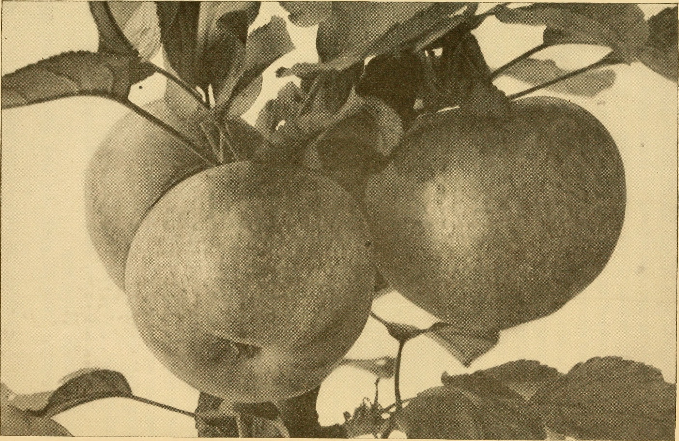A scanned image of a page from a book about apples