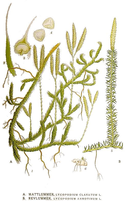 This image is in the public domain because the copyrights of the original work of art have expired. It is a reproduction of a painting by the Swedish botanist C. A. M. Lindman (1856–1928), taken from his book(s) Bilder ur Nordens Flora (first edition published 1901–1905, supplemented edition 1917–1926?).