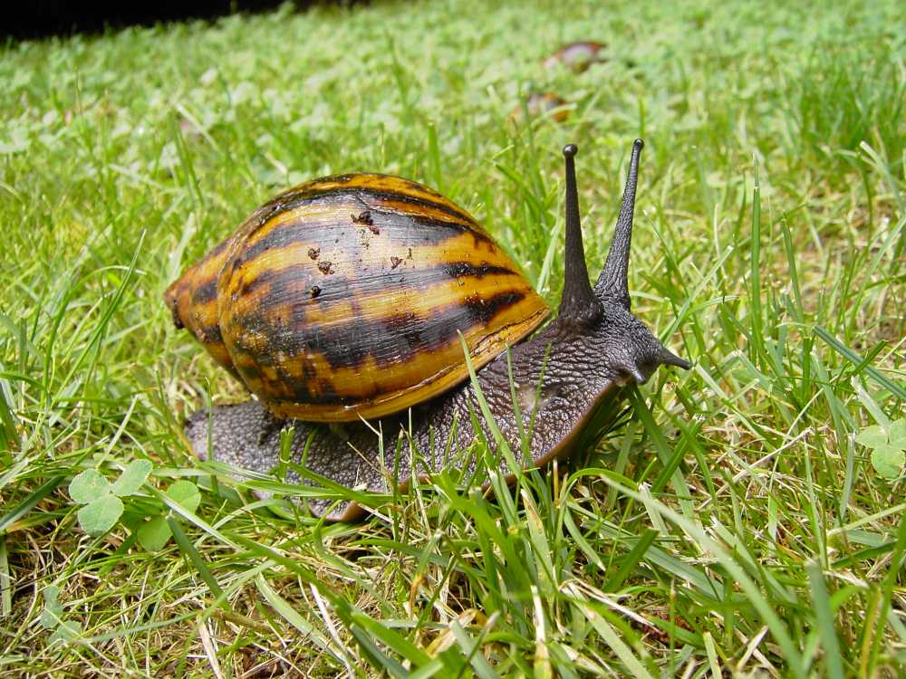 African Snail Facts For Kids