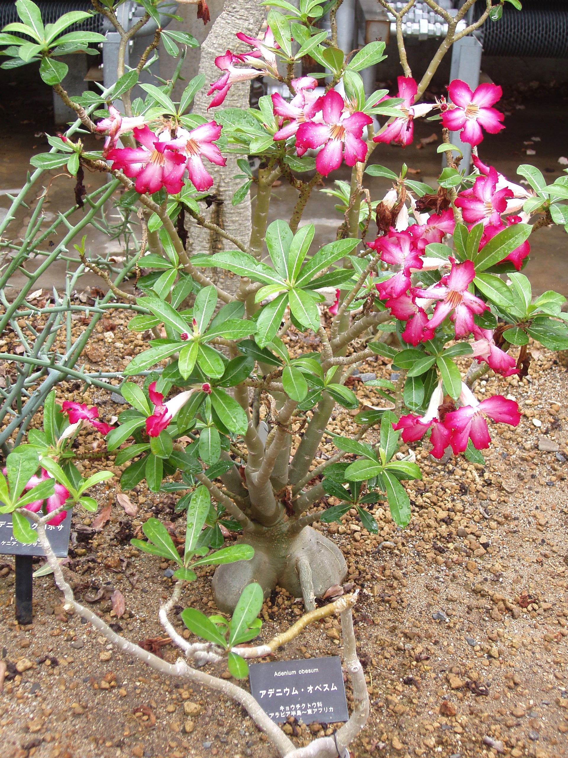 """Adenium obesum (""""Wüstenrose"""")"""