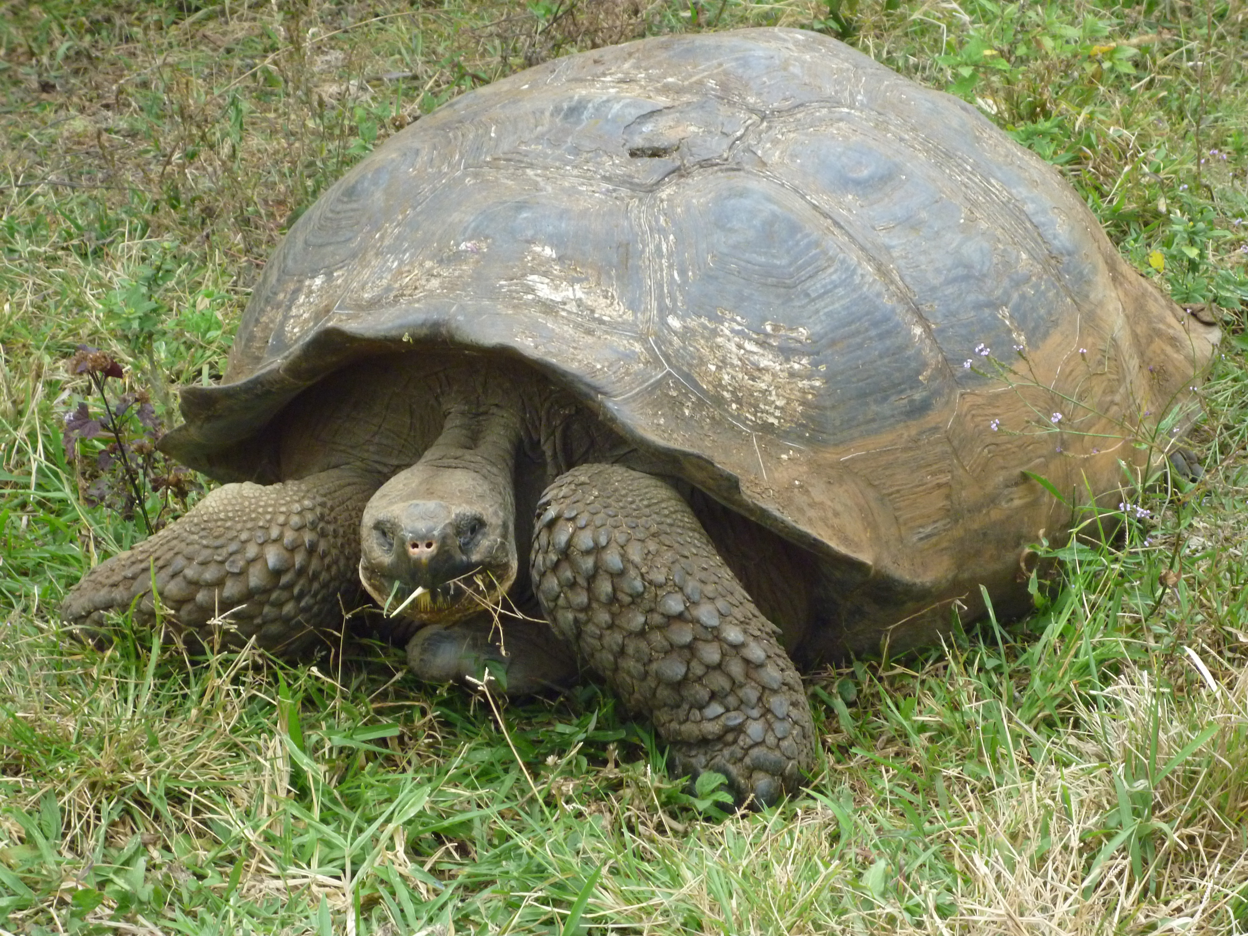 Archivo:Alvaro Sevilla Design foto de la Tortuga Galapagos Isla ...