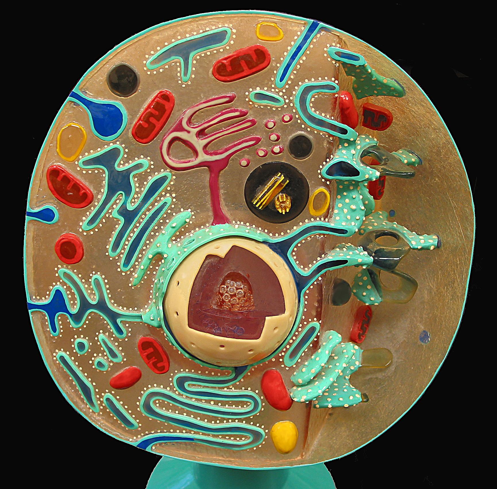 File Animal Cell Cross Section Model Jpg Wikimedia Commons