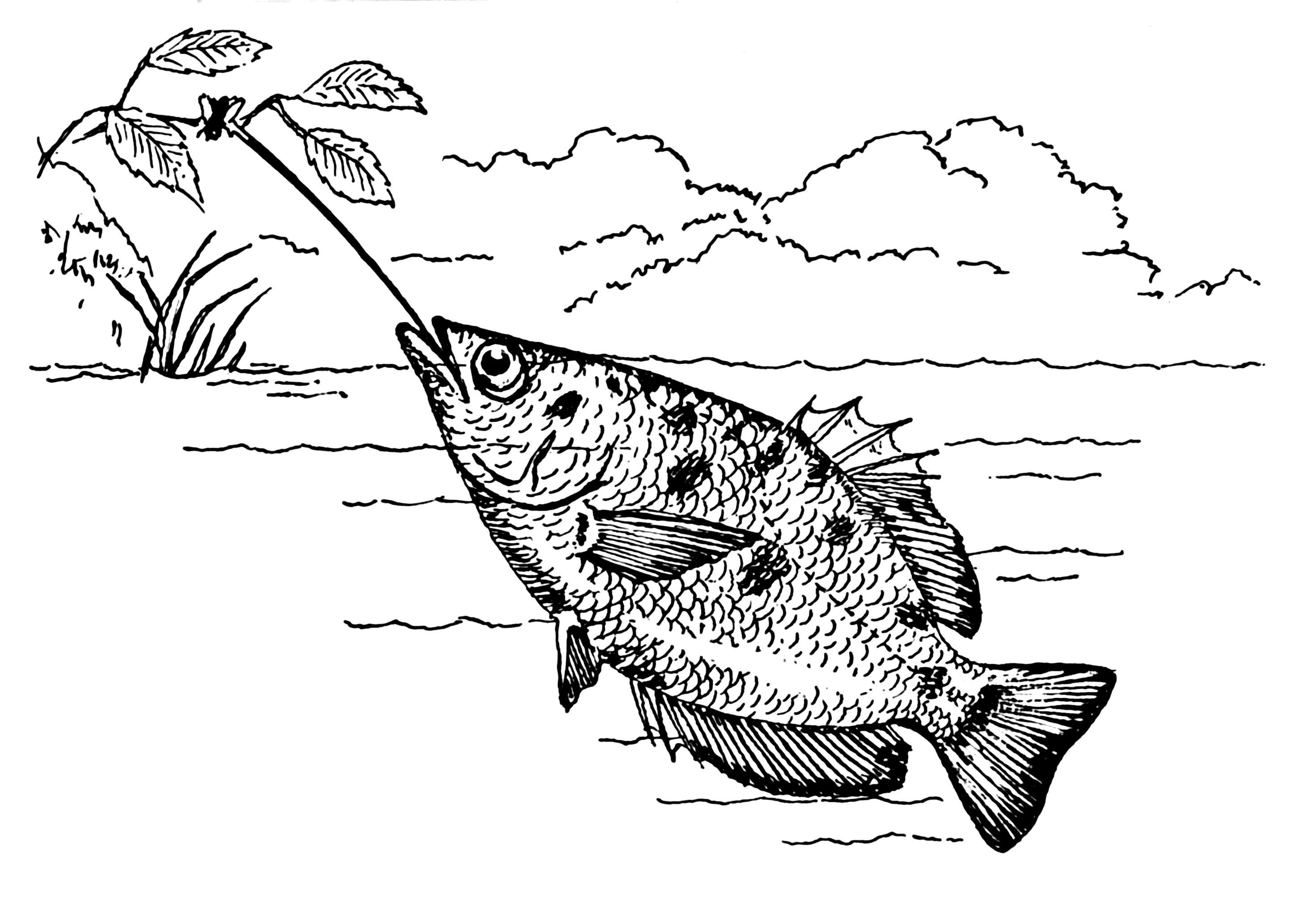 Illustration of an Archerfish           shooting water at a bug on a hanging branch.