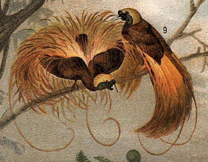 Paradisaea - Wikipedia bahasa Indonesia, ensiklopedia bebas