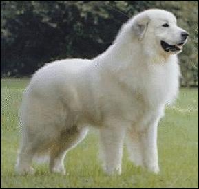 Cane da pastore maremmano abruzzese - Wikipedia