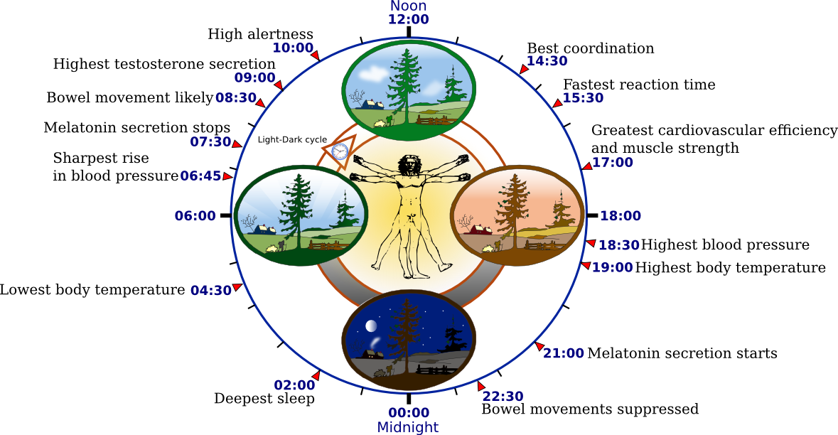 http://upload.wikimedia.org/wikipedia/commons/5/5f/Biological_clock_human.PNG