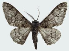 biston betularia nepalensis male.jpg