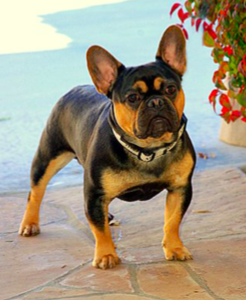Fileblack And Tan French Bulldog Majorpng Wikimedia Commons
