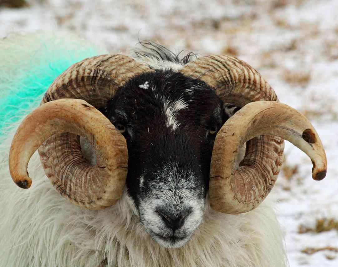 File Blackface Ram Portrait Jpg Wikimedia Commons