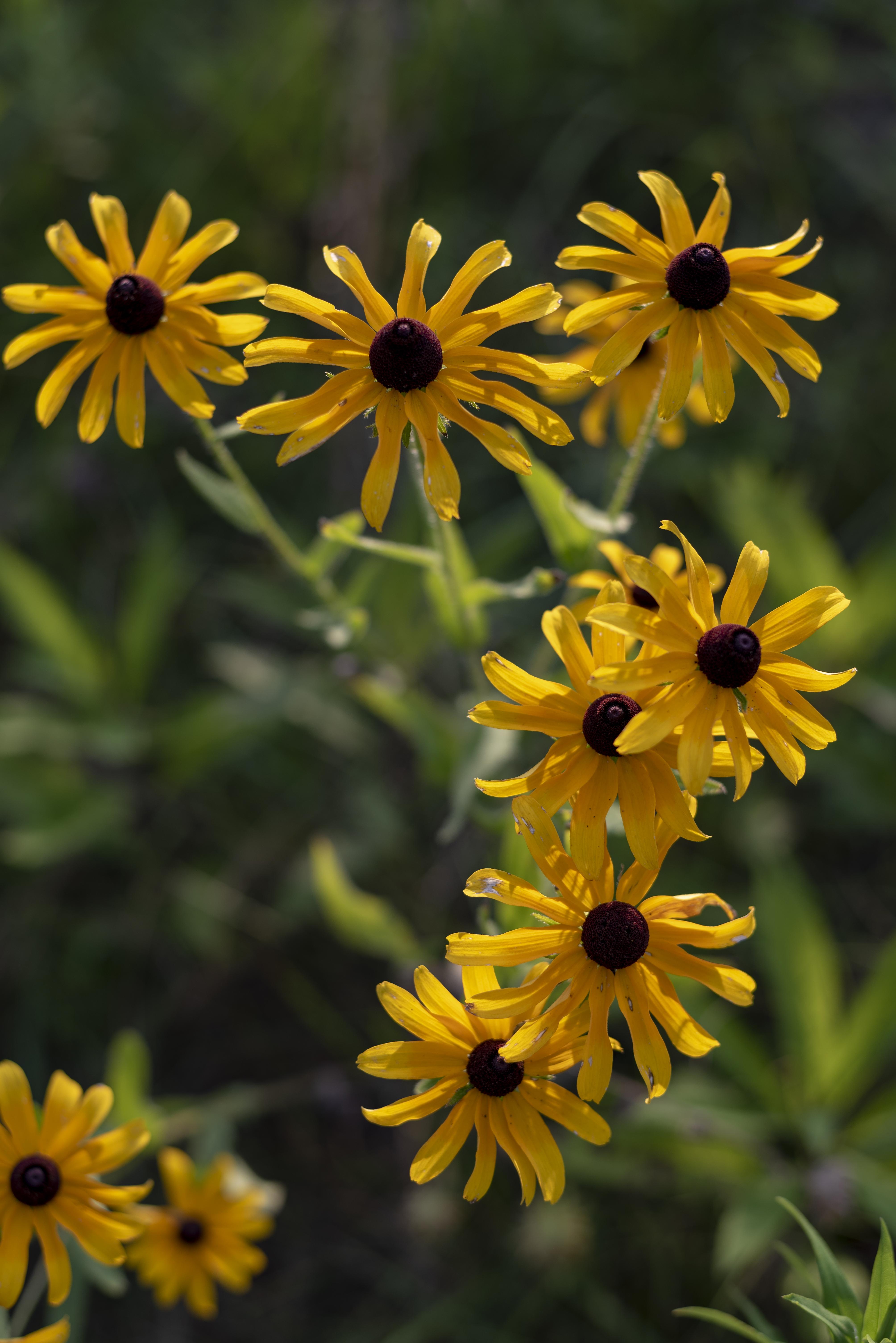 Fileblacklick Woods Yellow Coneflower 1g Wikimedia Commons