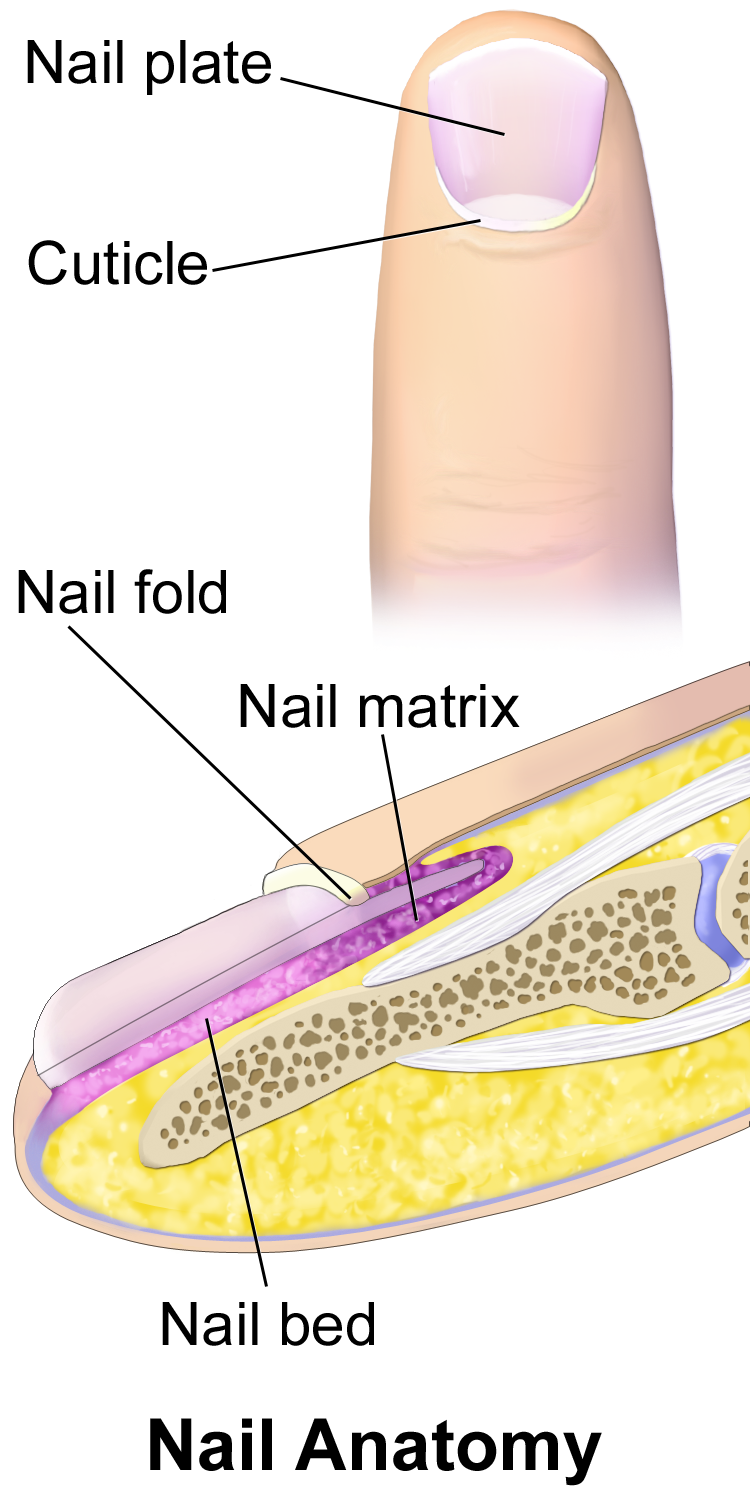 Thumb nail anatomy