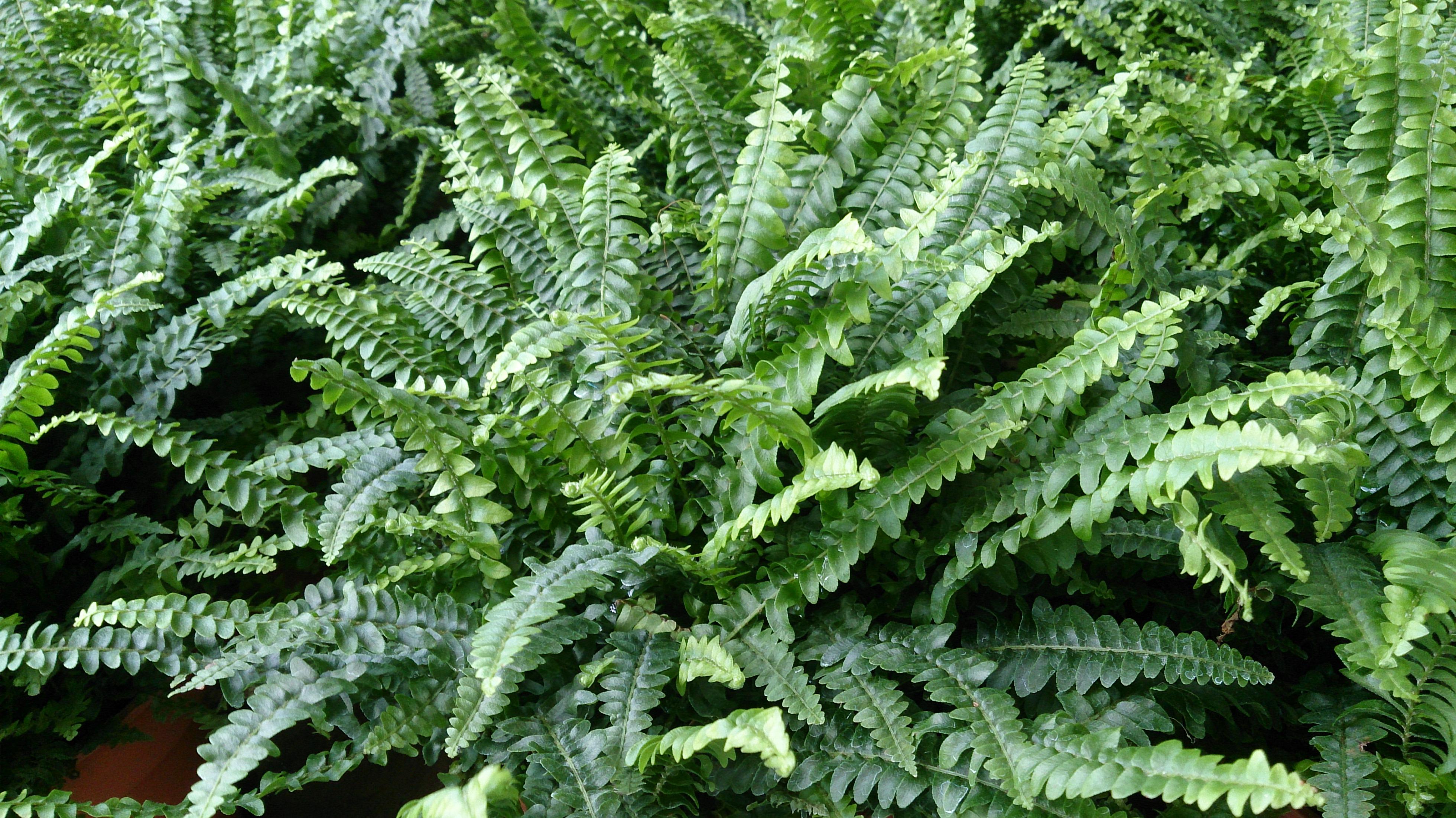 File boston fern nephrolepis exaltata jpg wikimedia - Nephrolepis exaltata ...