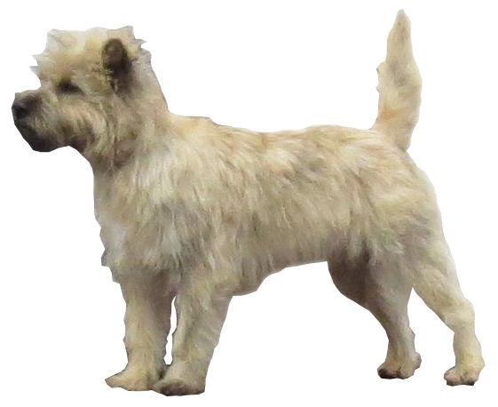 File:Cairn Terrier Fond Blanc.jpg