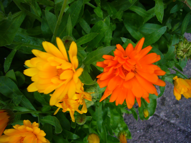 Description calendula officinalis p1080496 jpg