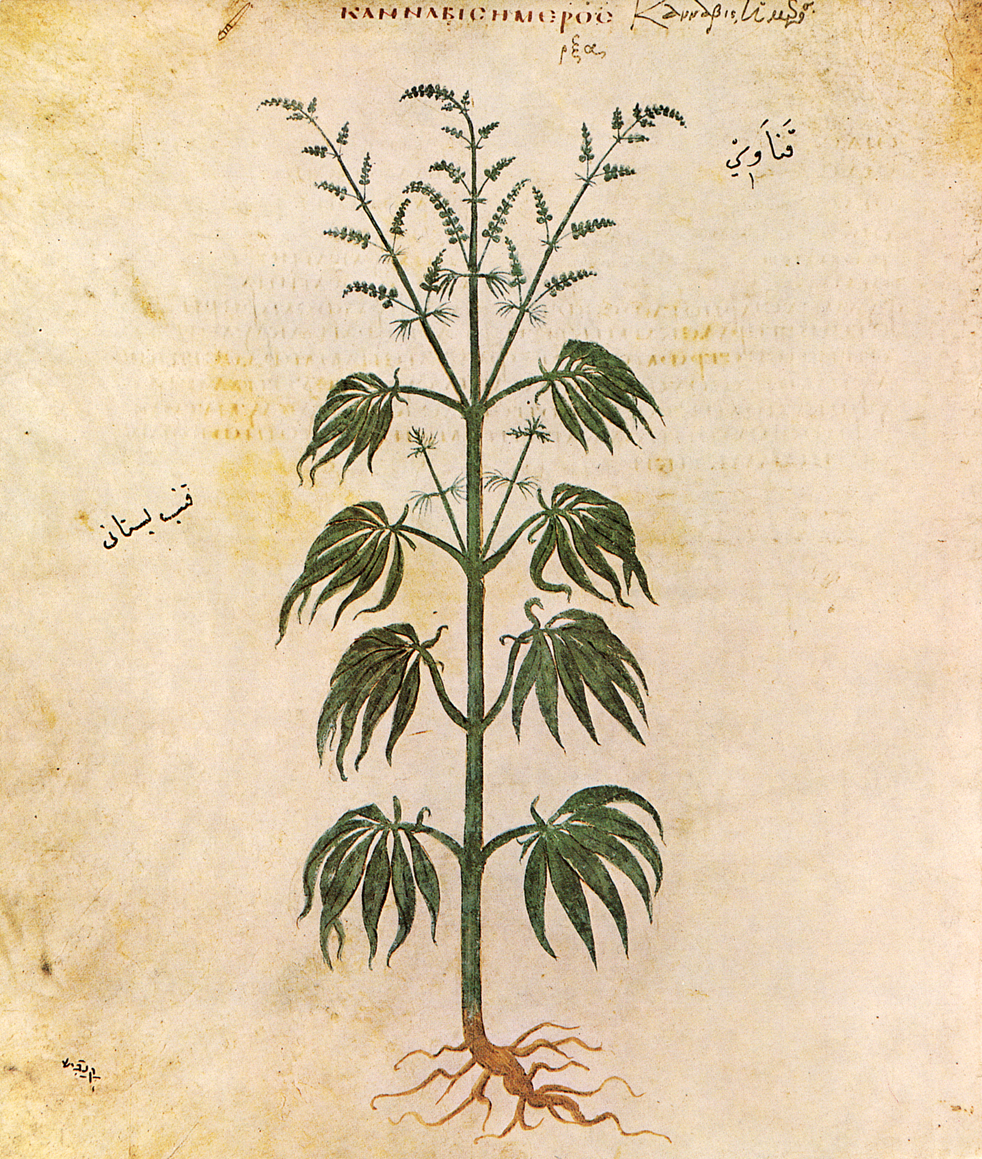 Ancient illustration of the Cannabis sativa plant