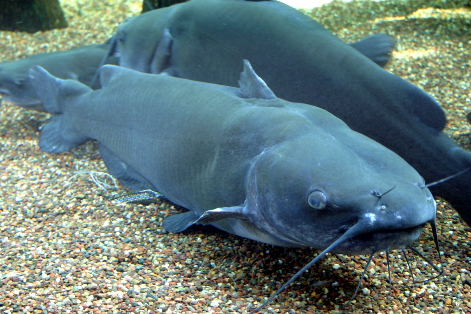 File:Channel Catfish.jpg