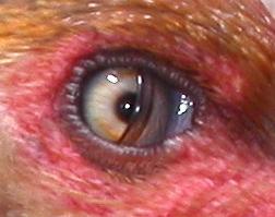 blinkningar i ögat
