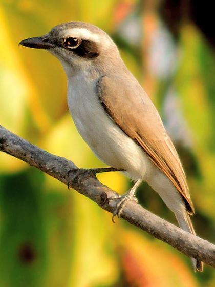 File:Common Woodshrike (Tephrodornis pondicerianus) Photograph By Shantanu Kuveskar.jpg