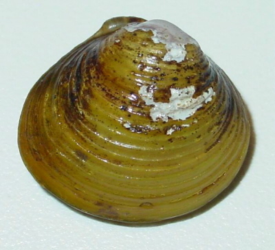 corbicula clam